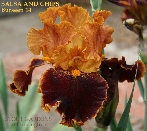 Iris Salsa And Chips
