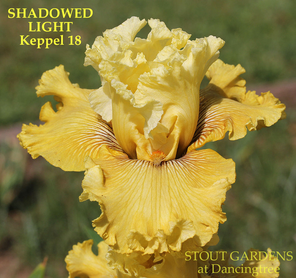 Iris Shadowed Light