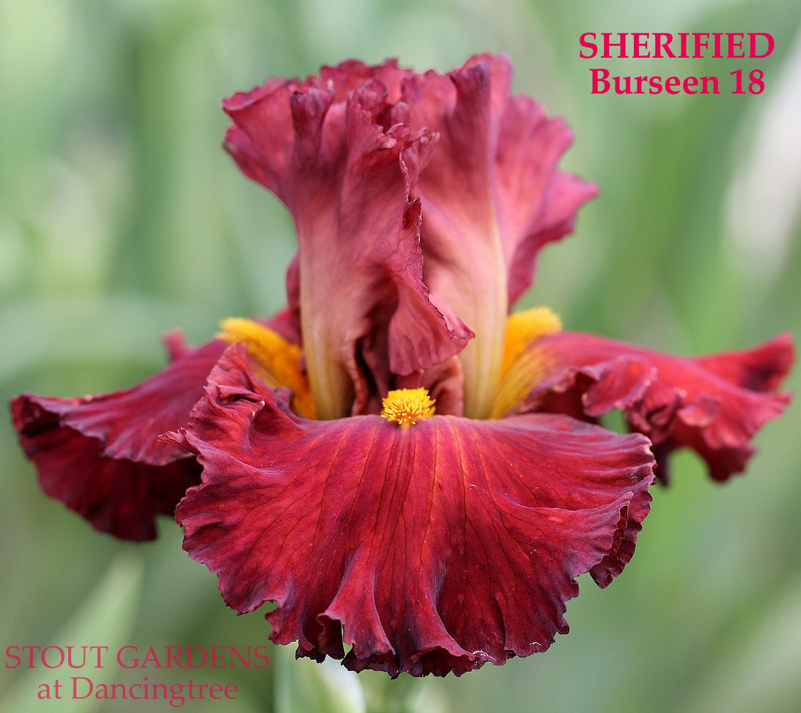 Iris SHERIFIED – Stout Gardens at Dancingtree