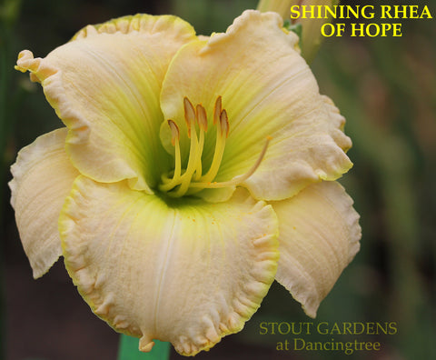 Daylily Shining Rhea Of Hope