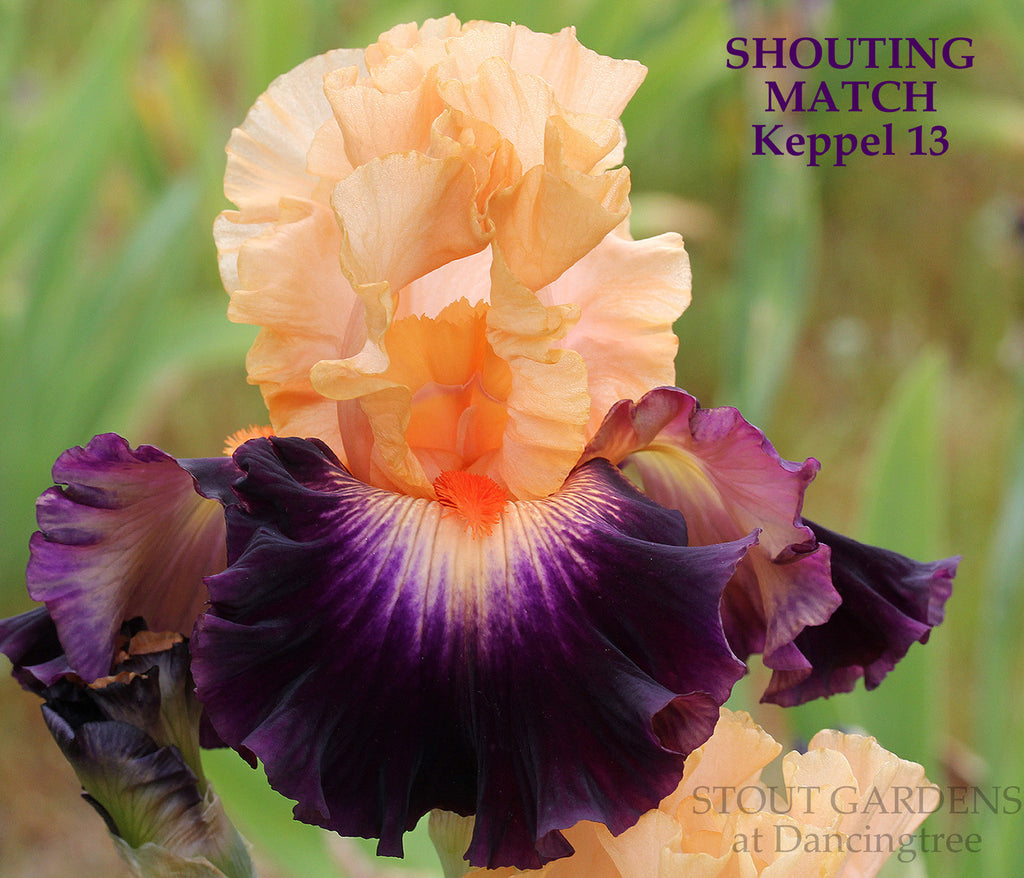 Iris SHOUTING MATCH