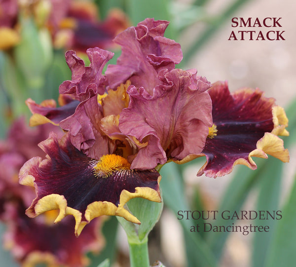 Iris SMACK ATTACK (STROMBOLI Name rejected)