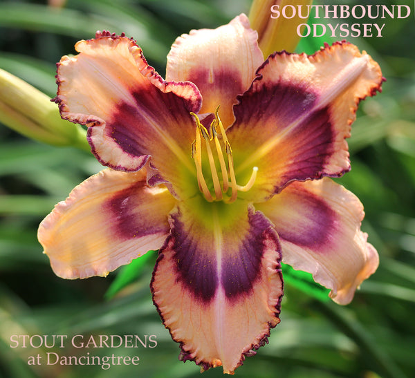 Daylily South Bound Odyssey