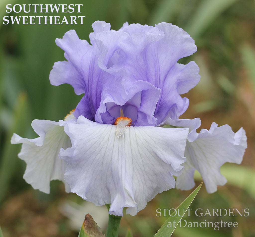 Iris Southwest Sweetheart