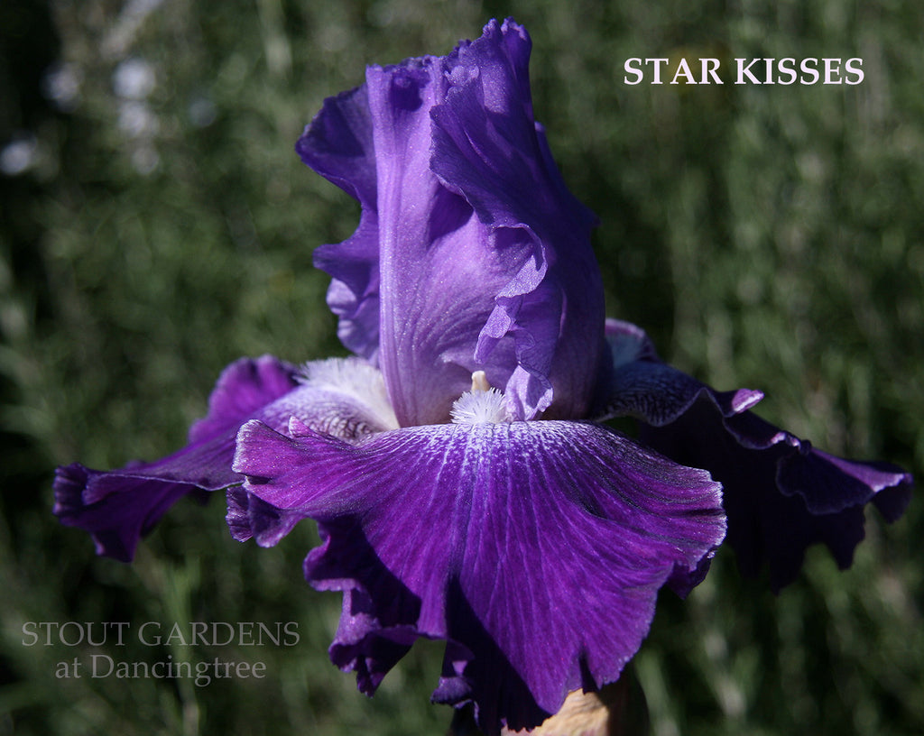 Iris STAR KISSES