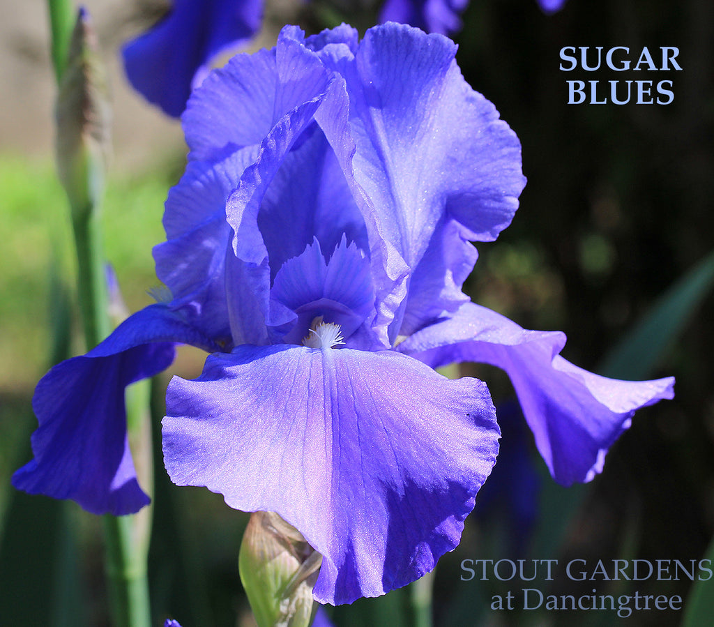 Iris Sugar Blues