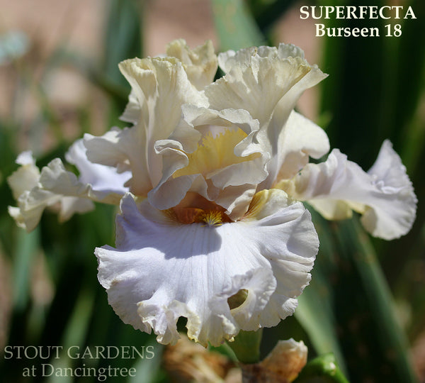 Iris SUPERFECTA