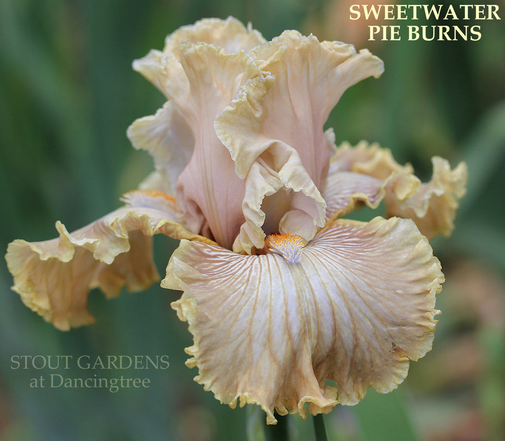 Iris Sweetwater Pie Burns