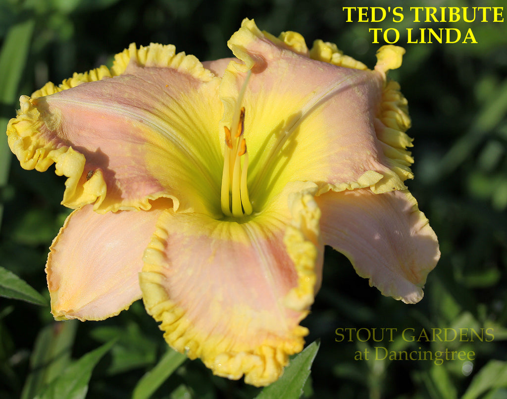Daylily Ted's Tribute To Linda