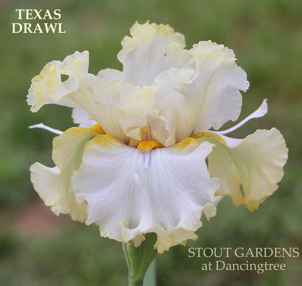 Iris Texas Drawl