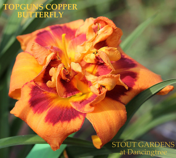 Daylily Topguns Copper Butterfly