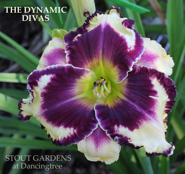 Daylily The Dynamic Divas