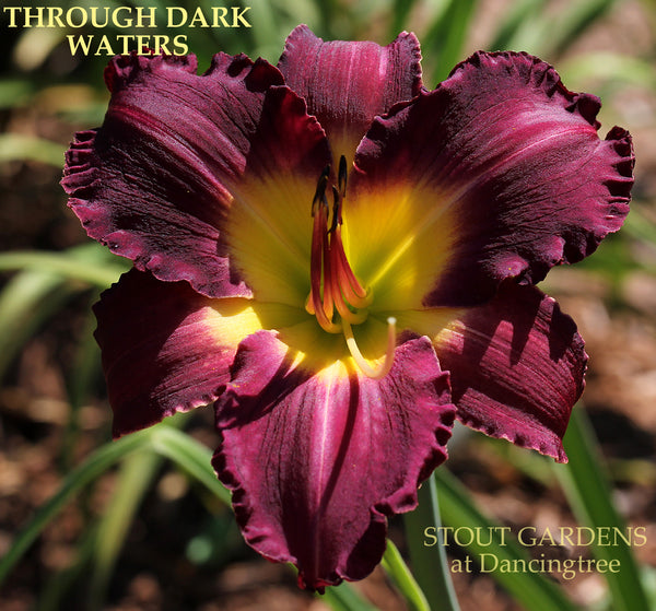 Daylily Through Dark Waters