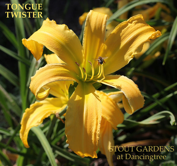 Daylily Tongue Twister