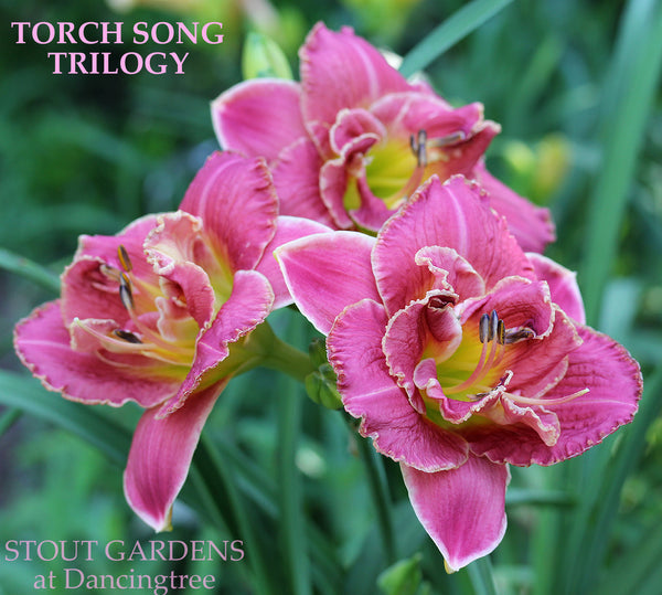 Daylily Torch Song Trilogy