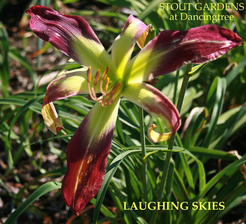 Daylily Laughing Skies