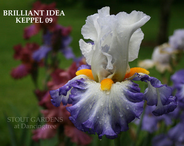 IRIS BRILLIANT IDEA