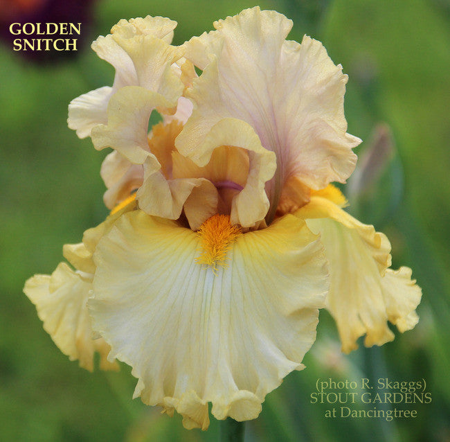 *Iris GOLDEN SNITCH