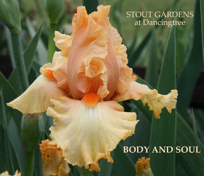 Iris BODY AND SOUL