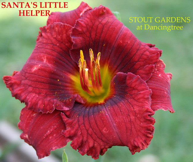 Daylily SANTA'S LITTLE HELPER