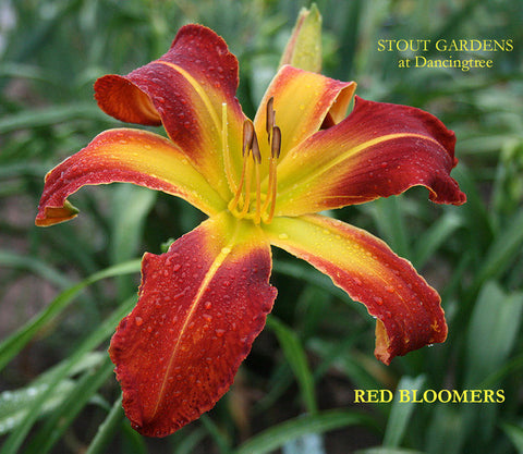 Daylily Red Bloomers
