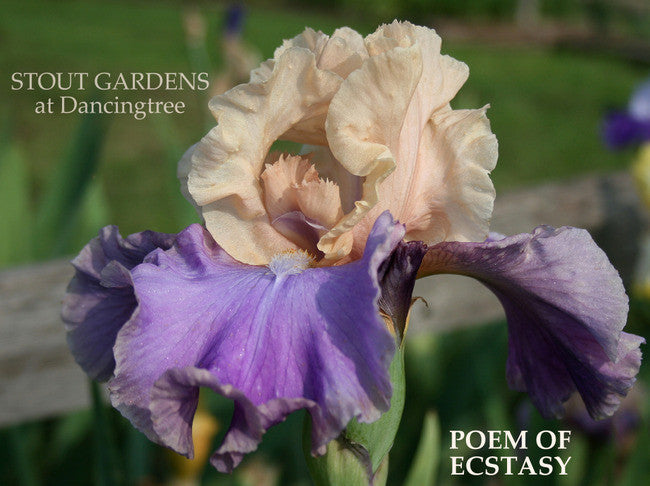 IRIS POEM OF ECSTASY