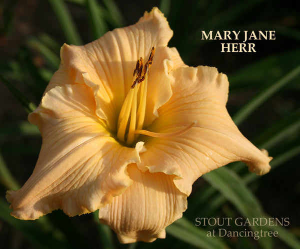 Daylily MARY JANE HERR