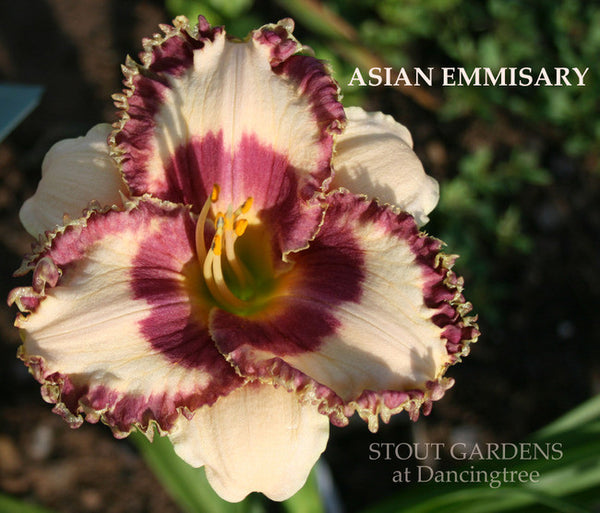 Daylily ASIAN EMISSARY