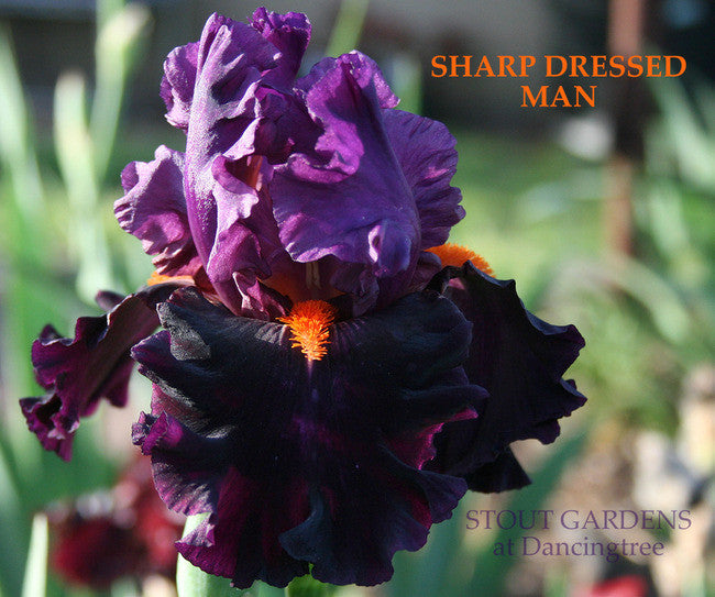 Iris SHARP DRESSED MAN