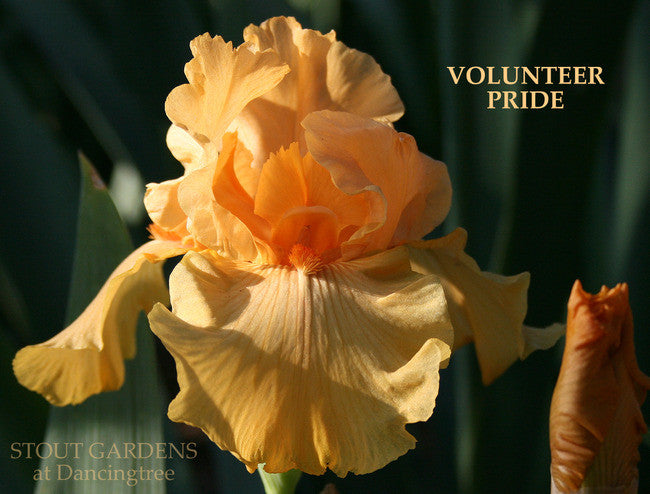 Iris VOLUNTEER PRIDE