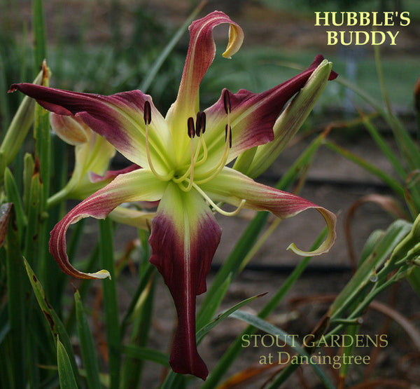 DAYLILY HUBBLE'S BUDDY
