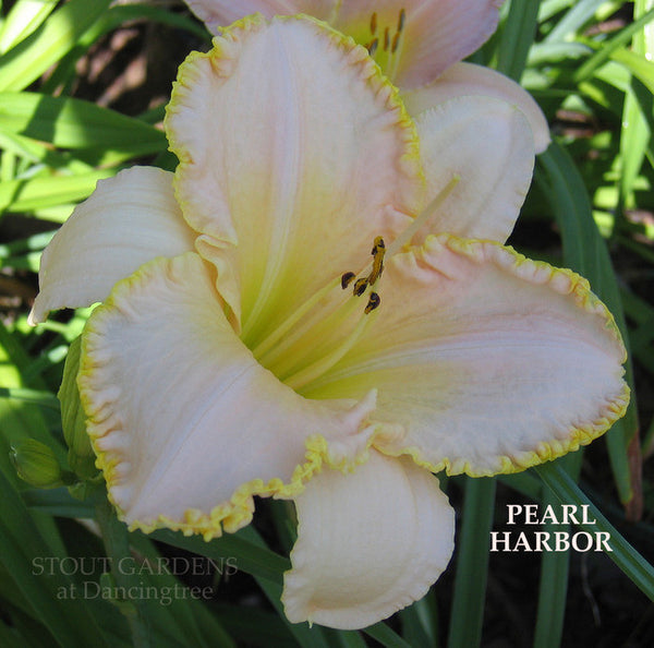 Daylily PEARL HARBOR