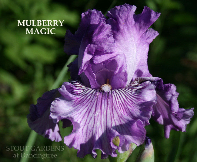 Iris MULBERRY MAGIC