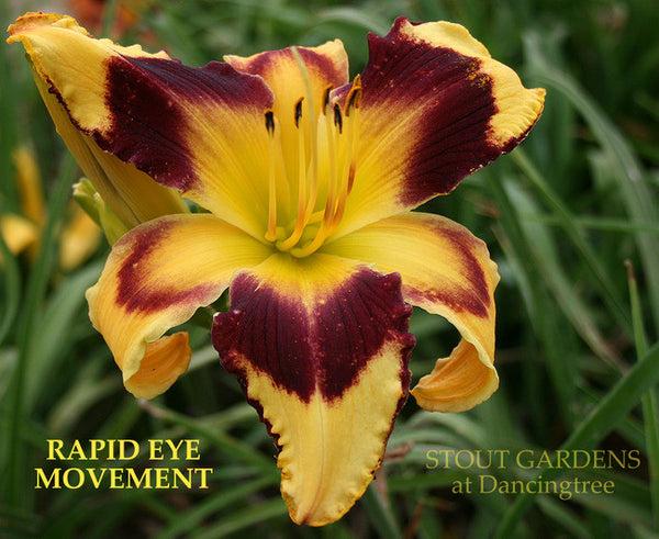 Daylily RAPID EYE MOVEMENT