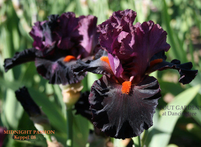 Iris MIDNIGHT PASSION