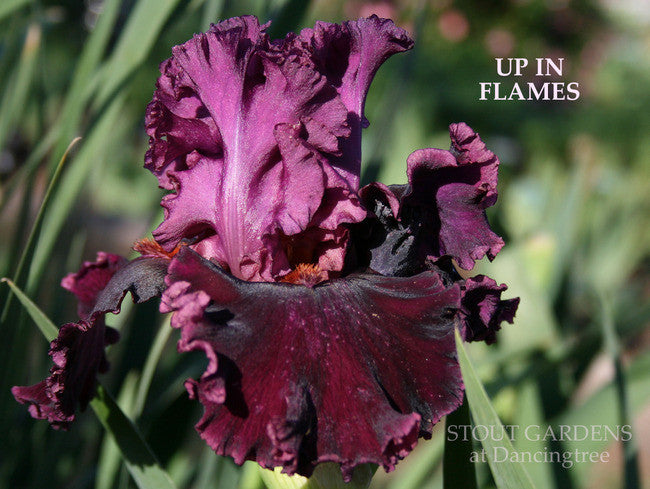 Iris UP IN FLAMES