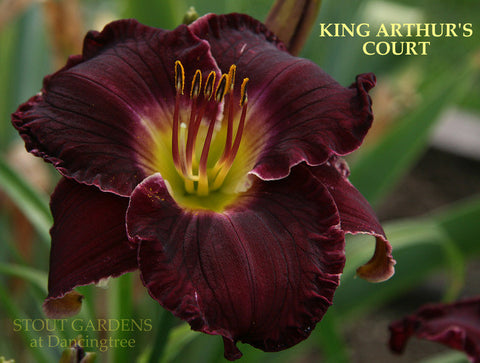 Daylily King Arthur's Court