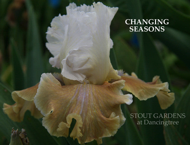 IRIS CHANGING SEASONS