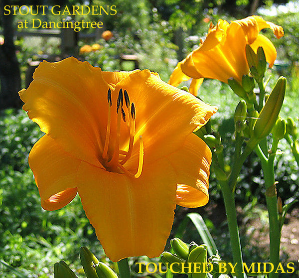 Daylily TOUCHED BY MIDAS