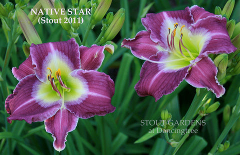 Daylily Native Star