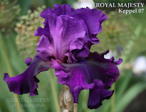 Iris ROYAL MAJESTY