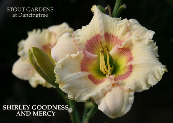 Daylily SHIRLEY GOODNESS AND MERCY