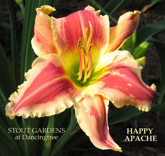Daylily HAPPY APACHE