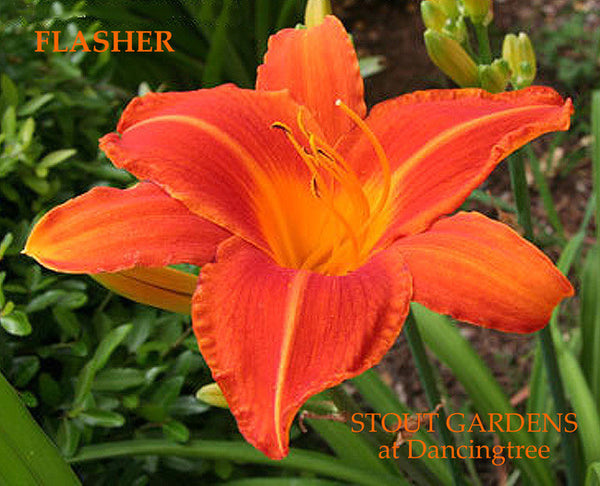 Daylily FLASHER