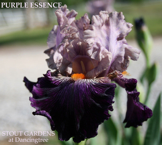 Iris PURPLE ESSENCE