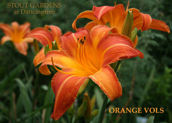 Daylily ORANGE VOLS