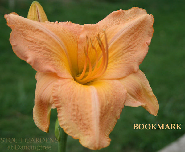 Daylily BOOKMARK