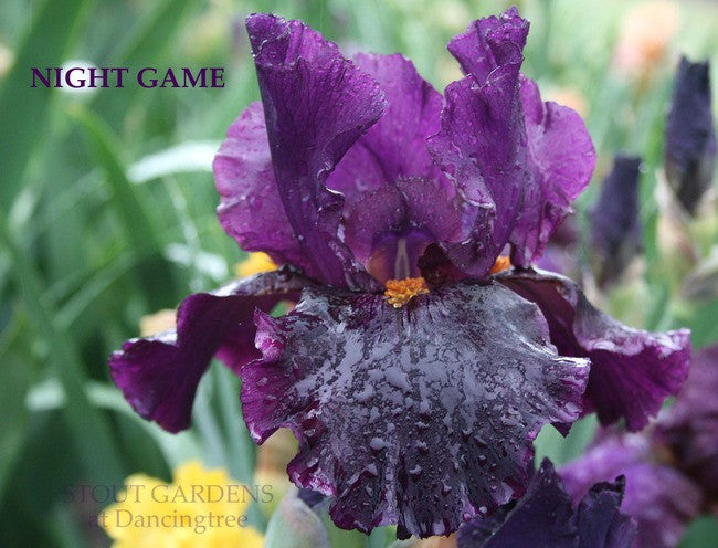 Iris NIGHT GAME