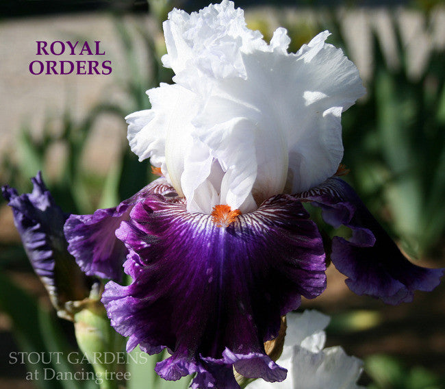 Iris ROYAL ORDERS