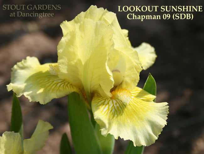 Iris LOOKOUT SUNSHINE